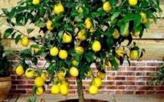 Уход за комнатным лимоном в горшке