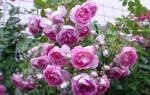 Роза плетистая красная сорта