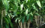 Драцена белый налет на листьях и стволе