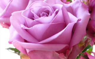 С чем сочетаются розы