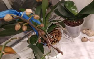 Орхидея не выпускает цветонос что делать
