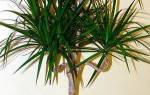 Комнатное растение типа пальмы