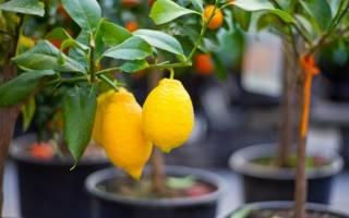 Размножение лимона черенками