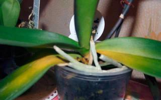 У орхидеи пожелтели листья