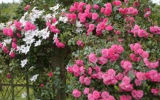 С какими цветами можно сажать розы