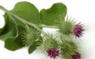 Трава золотарника применение и противопоказания