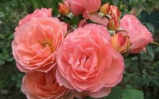 Как ухаживать за чайной розой