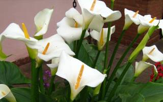 Цветок похожий на каллу белый название