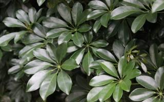 Растение с большими листьями