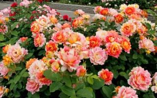 Роза шраб что это такое