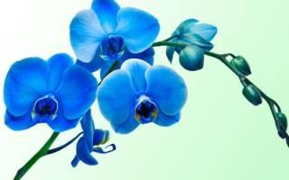 Синяя орхидея уход в домашних условиях