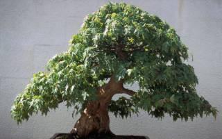 Бонсай дерево как ухаживать