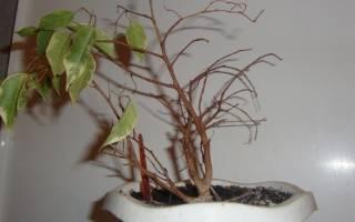 Фикус желтеет и сбрасывает листья что делать