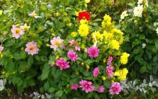 Цветы веселые ребята посадка и уход