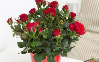 Домашняя роза в горшке как ухаживать