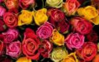 Цветы розы розовые