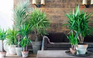 Как размножить юкку в домашних условиях