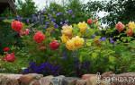 Можно ли сажать лилии рядом с розами