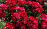 Когда можно пересаживать розы