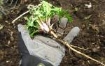 Растение похожее на одуванчик