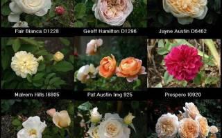 Как правильно обрезать отцветшие розы