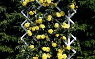 Почему не цветет плетистая роза причины