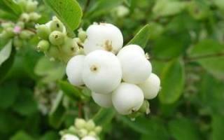 Куст с белыми ягодами