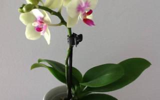 Карликовая орхидея уход в домашних условиях