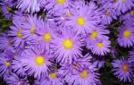 Сентябринки цветы