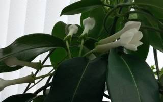 Жасмин цветок домашний
