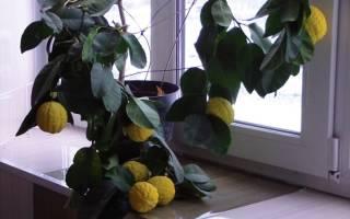 Как вырастить дома лимонное дерево