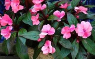 Комнатные растения мокрый ванька
