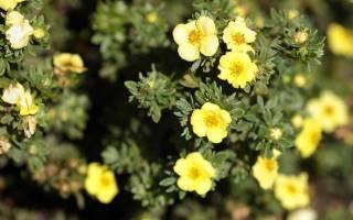 Как ухаживать за лапчаткой кустарниковой