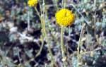 Сантолина зеленая вечнозелёный кустарник