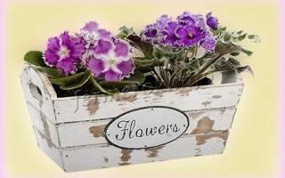 Почему не цветет фиалка в домашних условиях