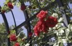 Роза плетистая размножение черенками