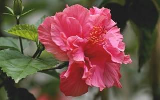 Дикая роза цветок домашний