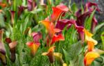 Как ухаживать за каллами в саду