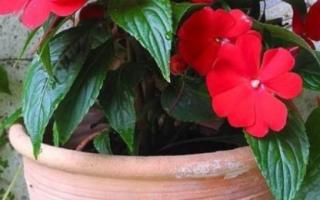 Мокрый ванька комнатный цветок