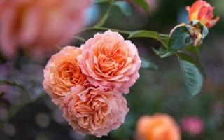 Что такое роза шраб