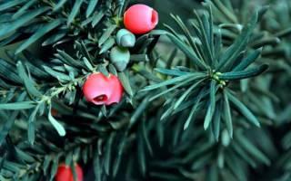 Хвойное дерево тис