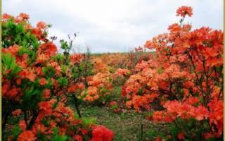 Как ухаживать за цветком азалия