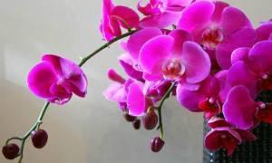 Орхидея как ухаживать в домашних