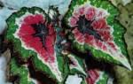 Цветок королевская бегония