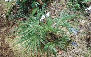 Пальма вашингтония выращивание из семян
