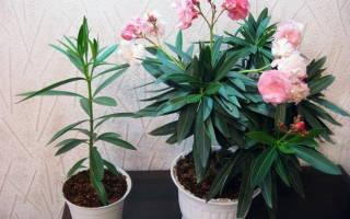 Олеандр уход и выращивание