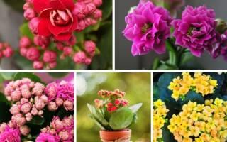 Цветущие растения для дома