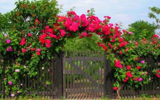 Как быстро растет плетистая роза