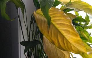 Женское счастье цветок желтеют листья
