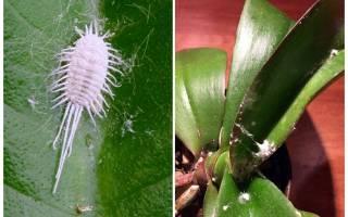 Орхидеи вредители и болезни мучнистый червец